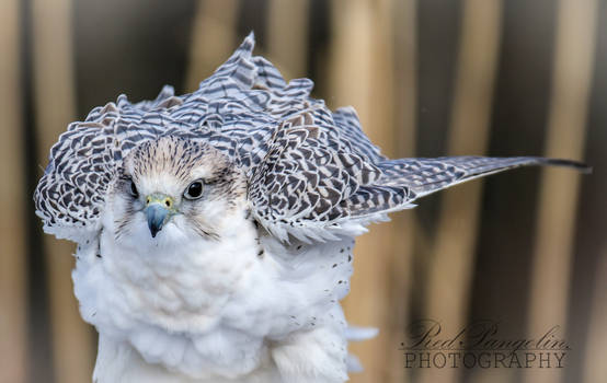 Gyrfalcon Floof