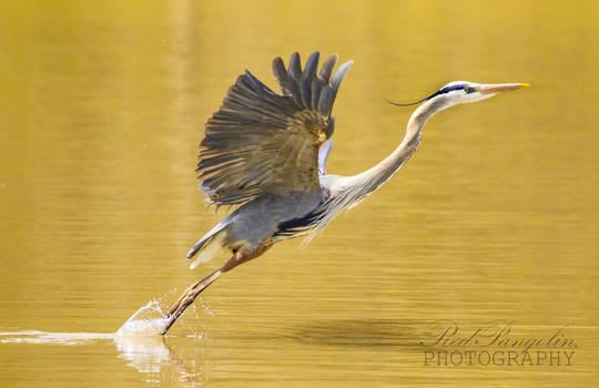 Blue Heron Take-Off