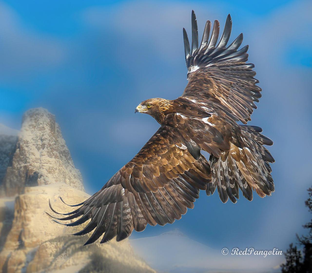 Golden Eagle at Golden Hour