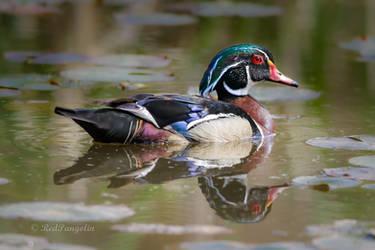 Wood Duck Drake by RedPangolin