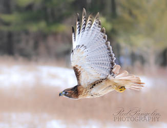Red-Tailed Hawk 20210227 by RedPangolin