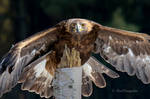 Golden Eagle Eye Contact 20210227