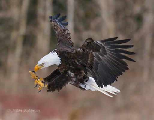 Bald Eagle Strike Pose