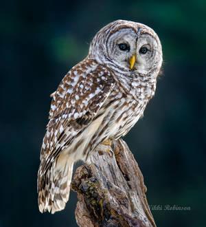 Barred Owl Beauty
