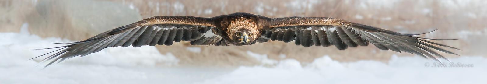 Head-on Golden Eagle