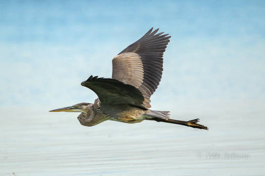 Great Blue Fly-By
