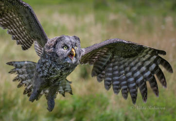 Great Grey Flying Lessons