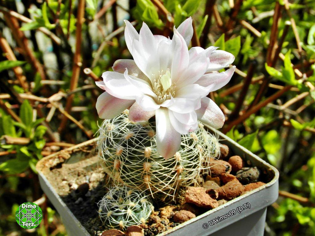 Gymnocalycium (Ga) 1 white flower 15 04m 09 #5 by UAkimov09