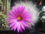 Cute and Charming blooming cactus