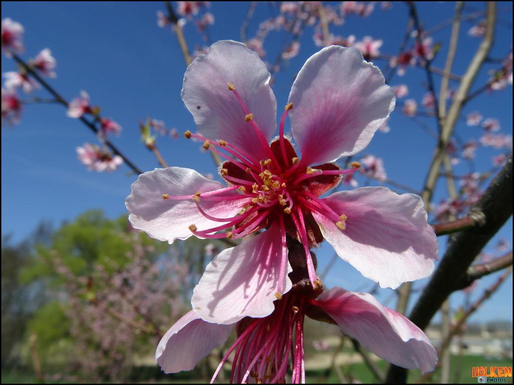 Peach-tree flower by DBZwarrior on DeviantArt
