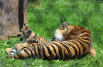 Mama tiger and her three cubs