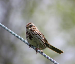 Cute little sparrow