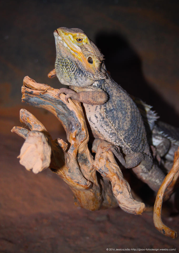 Pogona 2 by JWabbit