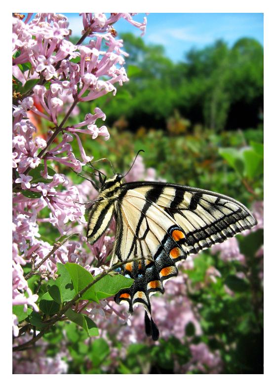 Papilionidae by Marita-Covarrubias