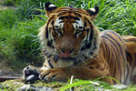 Ussuri the Amur Tiger