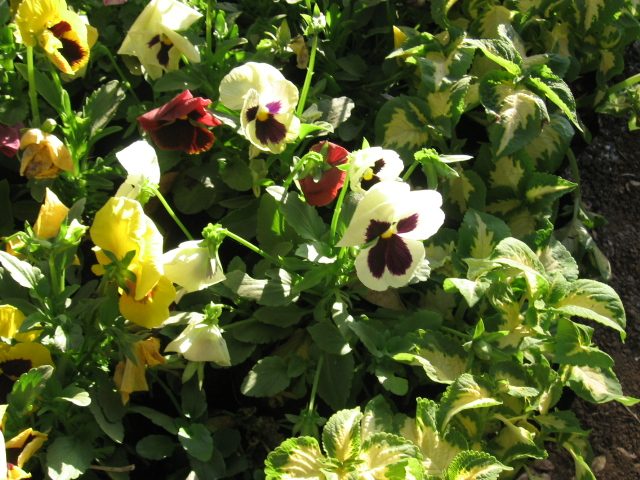 Pansies by AbstractWater
