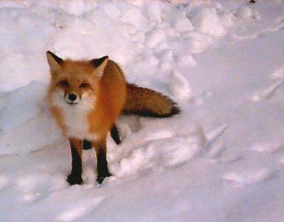 FOX by Fox of the road