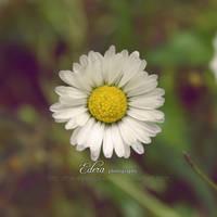 Daisy by phoenixgraphixstudio