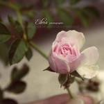 Rosa Rosae by phoenixgraphixstudio