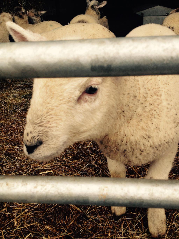 red bank farm lamb 1 2017 by psychoteenrocker on deviantart On lambs farm craft show 2017