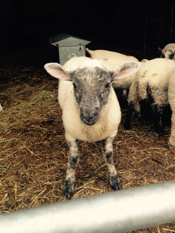 red bank farm lamb 2 2017 by psychoteenrocker on deviantart On lambs farm craft show 2017