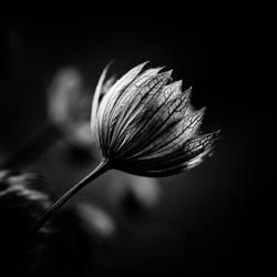 ..: Astrantia :.. by Mademoiselle-P