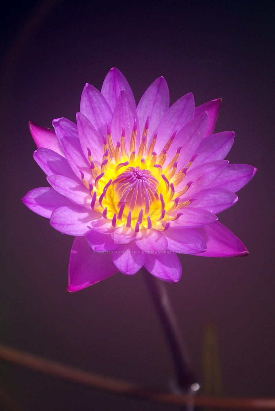 Purple lotus flower by photographybypixie on deviantart purple lotus flower by photographybypixie purple lotus flower by photographybypixie mightylinksfo