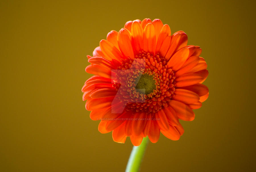 Orange Daisy by photographybypixie
