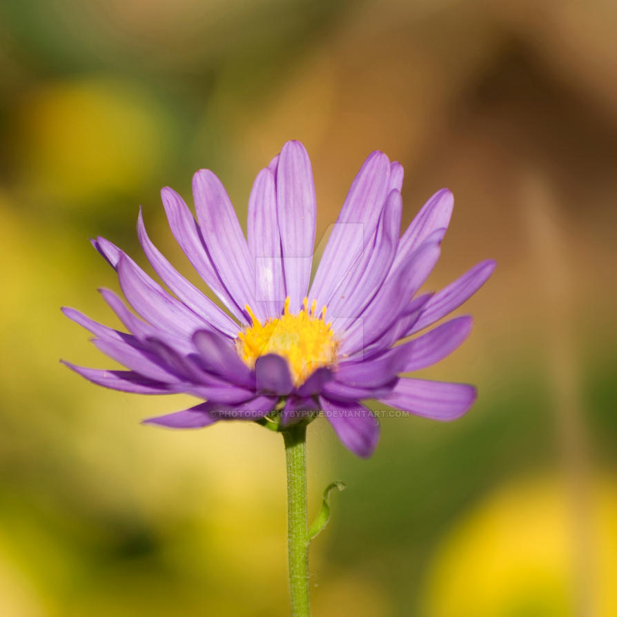 Purple Daisy Flower: Purple Daisy Flower By Photographybypixie On DeviantArt