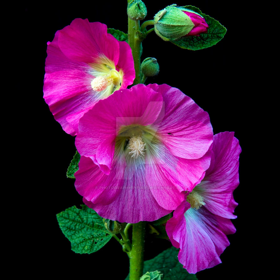 Pink Flowers On A Black Background By Photographybypixie On Deviantart