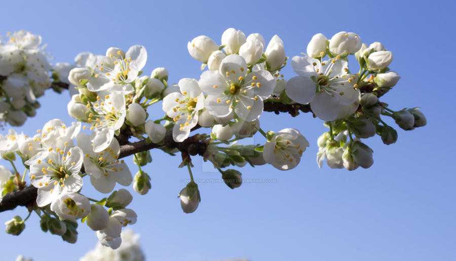 White Blossom Flowers  in Spring by photographybypixie