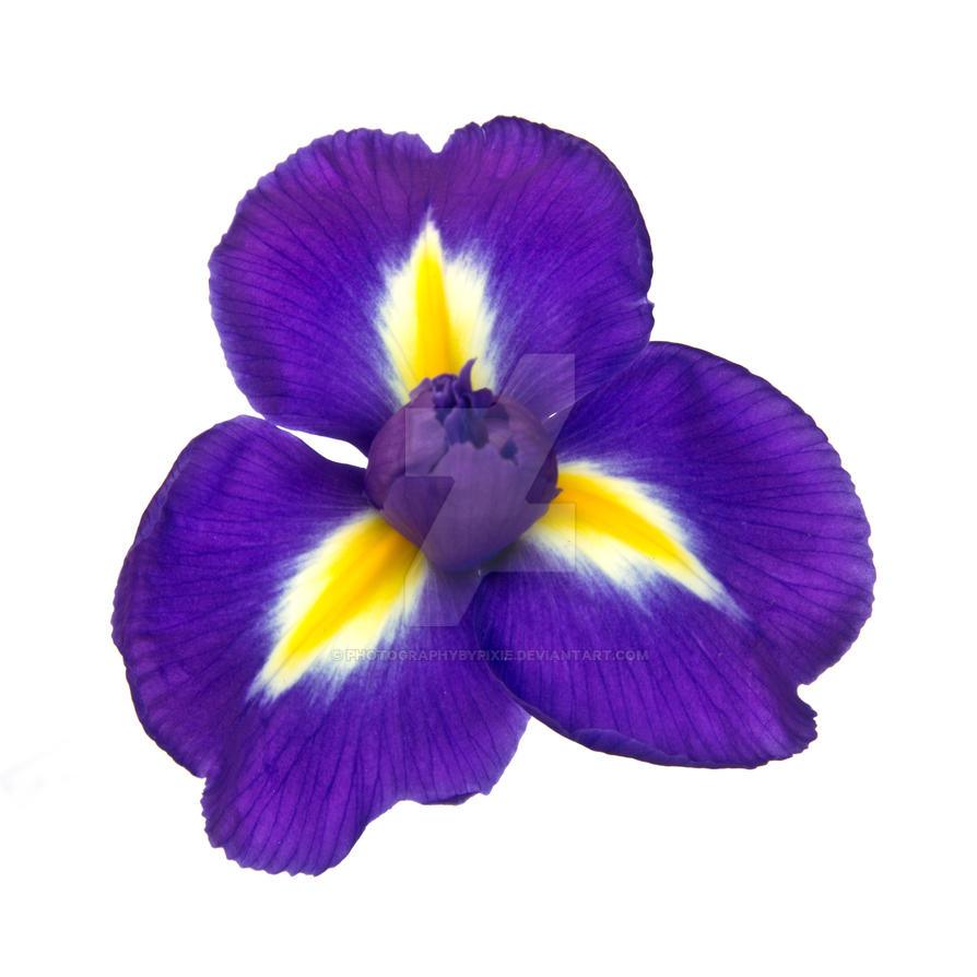 Purple iris flower by photographybypixie on deviantart purple iris flower by photographybypixie izmirmasajfo Image collections