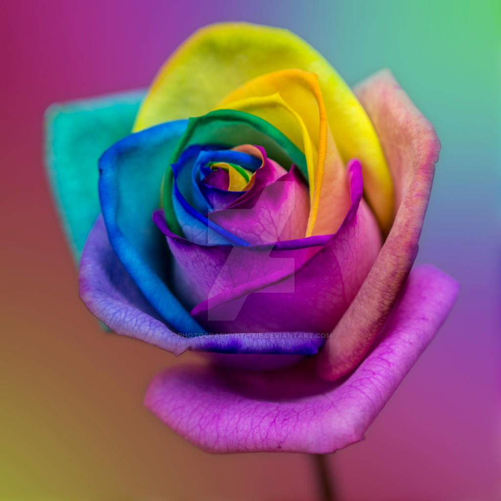 Stunning rainbow rose flower by photographybypixie on for How much are rainbow roses