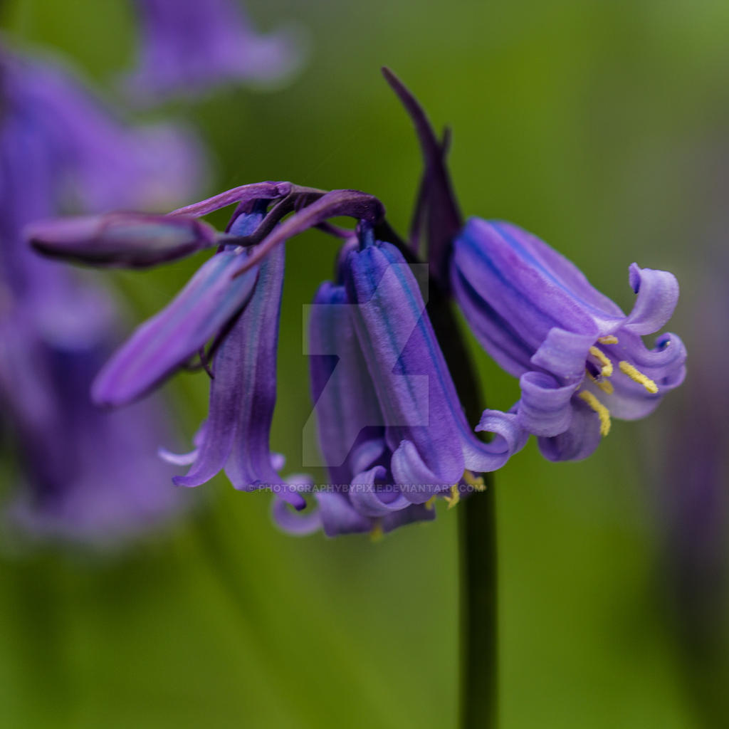 Bluebell Flower Square Picture by photographybypixie on DeviantArt