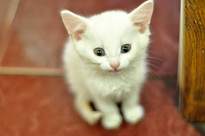 Kitten by Anna-Belash