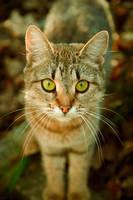 Tabby cat by Anna-Belash
