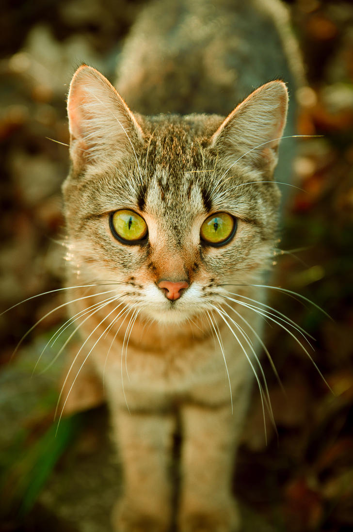 Tabby cat by Anna-Belash