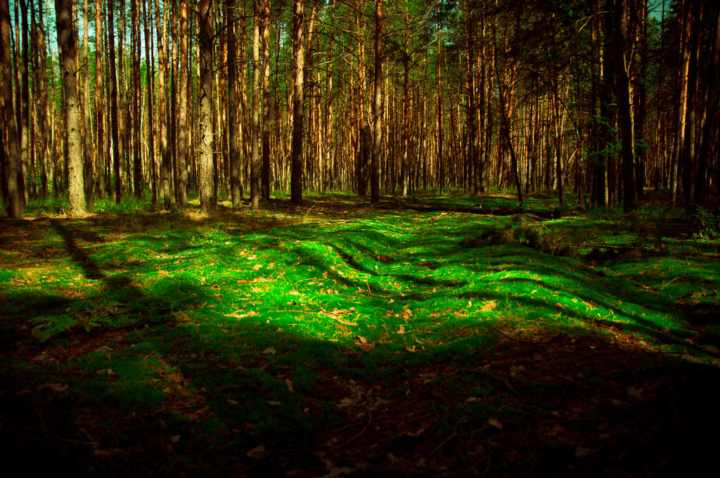 Moss in a pine forest by Anna-Belash