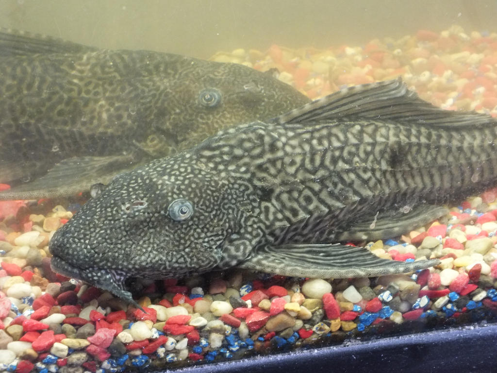 Plecostomus aka sucker fish by robertismyname on deviantart for Freshwater cleaner fish