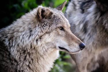 Wolf by MiraHinDo-Takomi