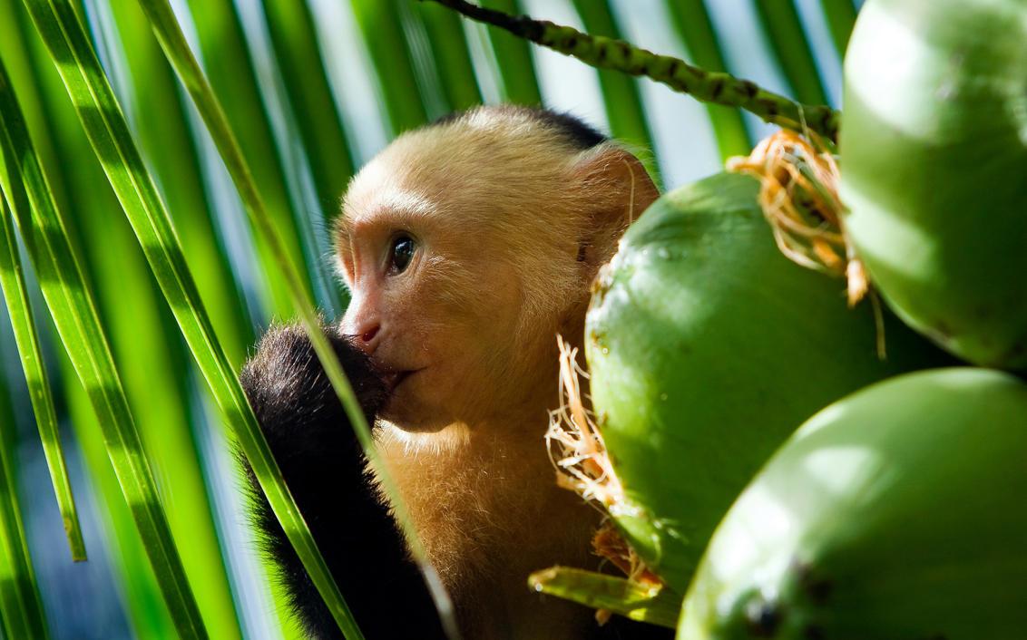 Capuchin Monkey Pictures Capuchin Monkey by Janikl
