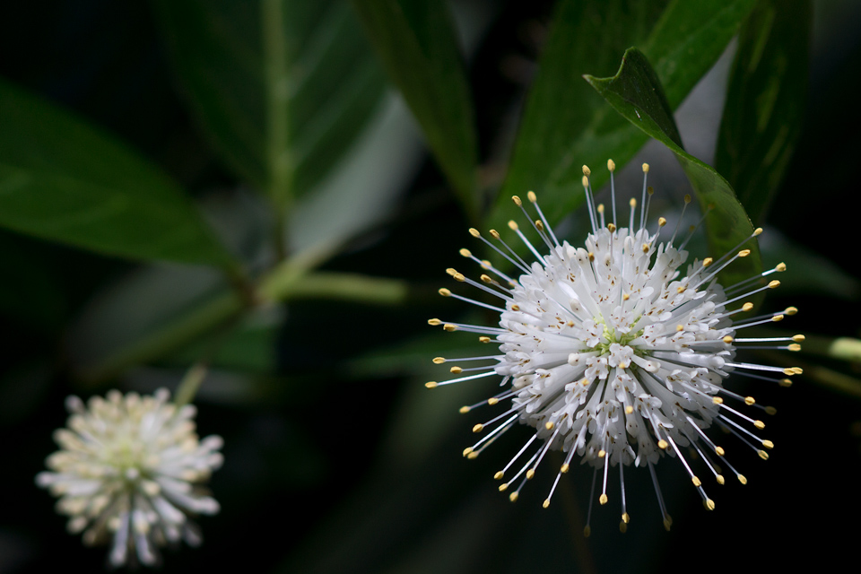 Buttonbush by secondclaw