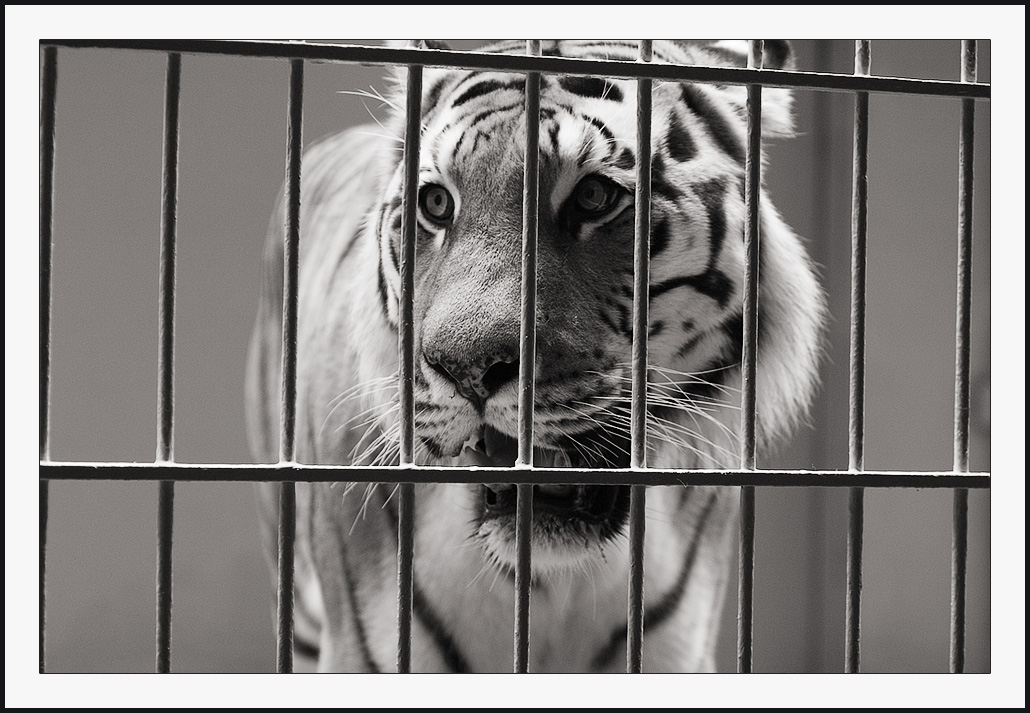 Image result for pictures of a white tiger in a cage