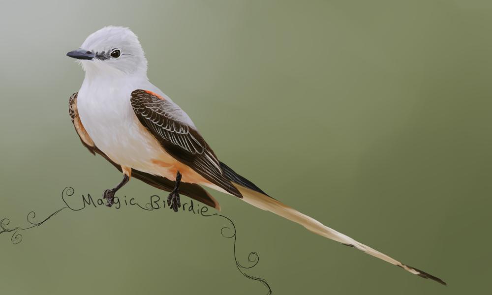 Scissor Tailed Flycatcher by MagicBirdie