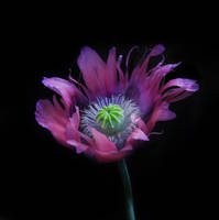 Pink poppy by TheCelluloidSoldier