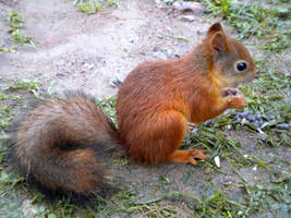 Squirrel by Anny78