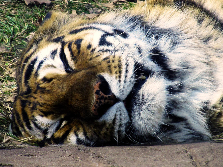 Lazy Tiger 1 by hellohappycrafts