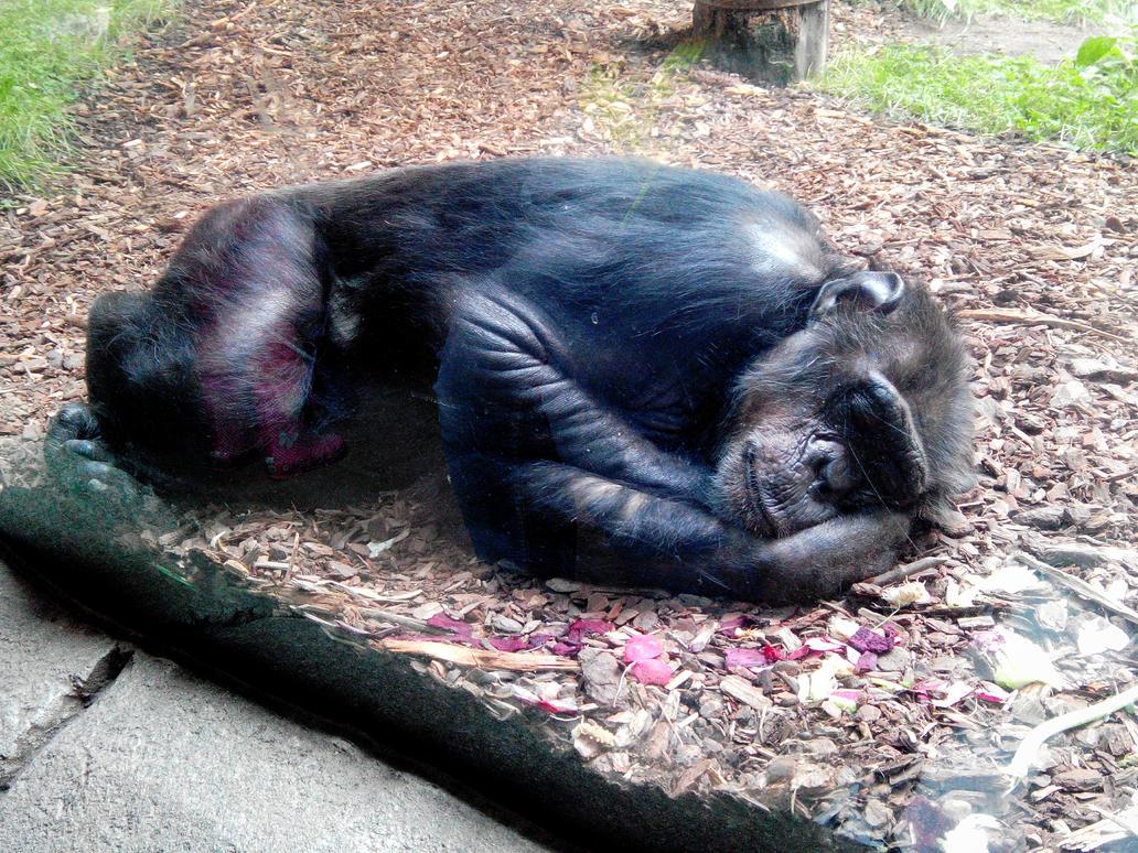 Sleeping chimpanzee by Reptock