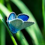 Bleu Irise