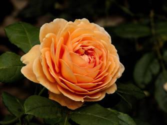 OrangeRose by antragonDE